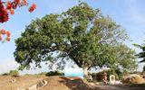 Cây xoài hơn 300 tuổi ở miền Tây được công nhận cây di sản
