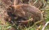 Cảm động video thỏ mẹ lao vào cắn xé rắn độc để cứu con