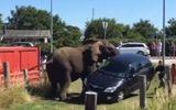"""3 con voi """"nổi điên"""" đập nát xe hơi, 1 phụ nữ bị thương"""