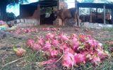Thanh long 500 đồng/kg, nông dân đổ cho bò ăn