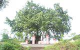 """Ngắm cây sanh có thế """"Độc nhất, vô nhị"""" ở Nghệ An"""