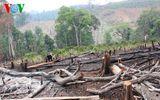 Bắt tạm giam giám đốc xí nghiệp lâm nghiệp để mất rừng