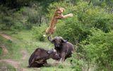 Trâu Cape trả thù hạ gục sư tử trong chớp mắt