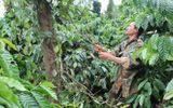 """Uẩn khúc """"tiêu tặc"""" hoành hành ở Đắk Lắk gây hoang mang cho nông dân"""