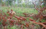 """""""Đầu nậu"""" thuê con nghiện vào rừng khai thác gỗ trái phép"""