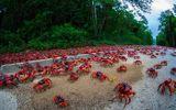 Cua đỏ thi nhau di cư ra bờ biển đào hang giao phối, sinh sản