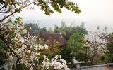 Lặng ngắm chùm ảnh: Rực rỡ mùa hoa ban