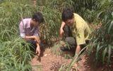 Voi rừng xuất hiện phá hoại hoa màu tại Đắk Nông