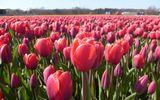 Những xứ sở hoa lãng mạn nhất thế giới