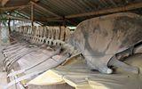 """Bí ẩn bộ xương cá voi khổng lồ và giai thoại """"chuyện ân oán"""" với người đi biển"""