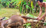 Người dân vùng rốn lũ Quảng Ngãi ăn bò chết thay cơm