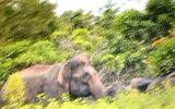 """""""Chộp cảnh"""" 20 con voi rừng uy hiếp người dân"""