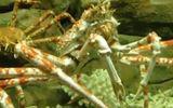 Xem loài cua khổng lồ, có thể dài 3,7m ngay tại Hà Nội