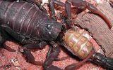 Điểm mặt những loài có sở thích ăn thịt đồng loại