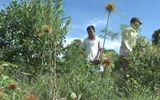 Phát hiện trang trại trồng... cần sa