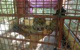 Hai con hổ bị vứt khỏi xe tải đã hồi tỉnh và rất hung dữ