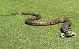 Chú ếch thoát chết thần kỳ dù bị con rắn gần như nuốt chửng