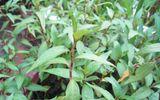 Clip: Kinh hoàng với cánh đồng rau răm toàn vỏ thuốc tăng trưởng