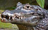 Sự kiện hàng ngày - Việt kiều bị cá sấu cắn chết khi đi câu