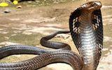 Bắt được rắn hổ mang chúa nặng 6,3kg