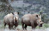Loài tê giác trắng phương Bắc đối mặt với nguy cơ tuyệt chủng