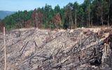 Khai thác rừng trồng, phá luôn rừng phòng hộ