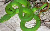 Khám phá - Tuyệt đối không chích, rạch vết thương khi bị rắn lục đuôi đỏ cắn