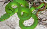 Sức khoẻ - Rắn lục đuôi đỏ: Bí quyết xua đuổi rắn bằng kinh nghiệm dân gian