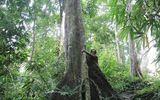 """Xã hội - Ly kỳ chuyện """"xà thần"""" canh giữ rừng lim trị giá hàng trăm tỷ"""