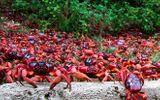 Cảnh tượng hơn 100 triệu cua đỏ bỏ rừng ra biển