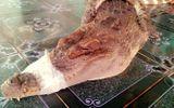 Vây bắt cá sấu dài 2m, nặng 32kg lạc vào ao nhà dân