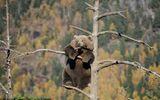 Kỳ lạ nàng gấu to béo đứng vắt vẻo trên cành cây suốt hàng giờ