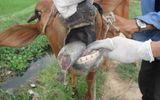 Miền Trung - Miền núi Thanh Hóa xuất hiện dịch lở mồm long móng ở trâu bò
