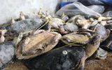 Tài nguyên - Phát hiện một số lượng lớn xác rùa biển tại khu chăn nuôi heo