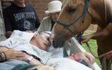 Gia đình - Tình yêu - Cảm động chú ngựa trung thành vượt 240 km để đến hôn tạm biệt chủ nhân