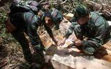 An ninh - Hình sự - Vụ phá rừng pơ mu ở Quảng Nam: Lập đoàn kiểm tra các cá nhân, tổ chức vi phạm