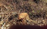 Khởi tố vụ án phá rừng giáp ranh tại Quảng Nam