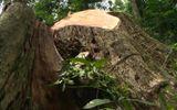 Gia Lai: Khởi tố vụ khai thác trộm gỗ hương