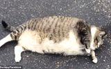 Cộng đồng mạng - Chú mèo béo phì gây sốt mạng vì không thể trở mình