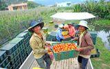 Giá cà chua tăng cao kỷ lục