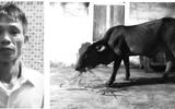 Kỳ lạ vụ án trộm bò của... chính mình vẫn bị tuyên 9 tháng tù
