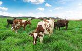 Trang trại bò sữa Organic theo tiêu chuẩn Châu Âu đầu tiên tại VN của Vinamilk