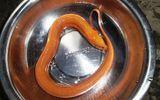 Kỳ lạ con lươn vàng bên mương nước có giá hàng chục triệu