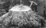 Bí ẩn gốc gù hương giống hệt cụ rùa khổng lồ nằm rêu phong trong hạt kiểm lâm