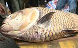 Cá hô nặng 125 kg, giá 300 triệu mắc lưới ngư dân miền Tây