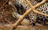 Báo đốm lao xuống sông lôi cá sấu