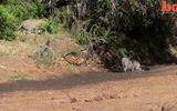 Phản xạ tuyệt vời của lợn rừng trước đòn tấn công của báo đốm