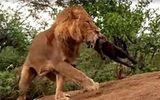 Sư tử truy sát, cắn chết linh cẩu tận hang ổ