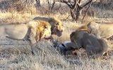 Kinh hoàng khoảnh khắc sư tử đực xé xác đồng loại để ăn thịt