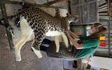 Nổi da gà khi xem cảnh tượng trong xưởng nhồi xác động vật